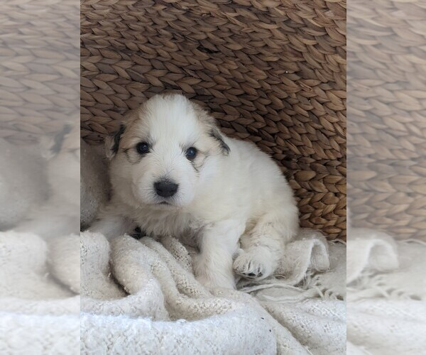 Medium Photo #14 Great Pyrenees Puppy For Sale in FALCON, CO, USA