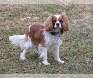 Father of the Cavalier King Charles Spaniel puppies born on 03/30/2021