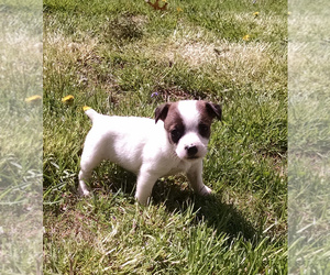 Jack Russell Terrier Puppy for sale in LIBERTY, KY, USA