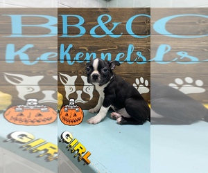 Boston Terrier Puppy for sale in CLARE, IL, USA