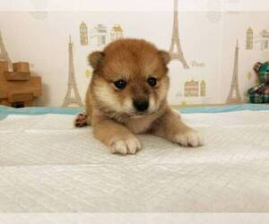 Shiba Inu Puppy for sale in NEW YORK, NY, USA