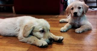 Golden Retriever Puppy For Sale in PUEBLO, CO