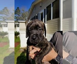 Mastiff Puppy for sale in ENTERPRISE, AL, USA