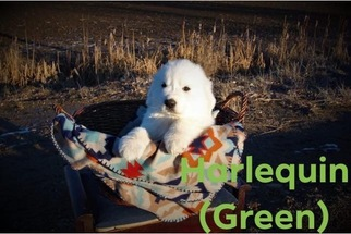 Great Pyrenees Puppy For Sale in PAYETTE, ID, USA