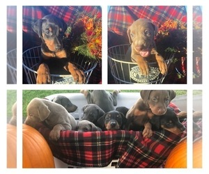 Doberman Pinscher Puppy for sale in GLADWIN, MI, USA
