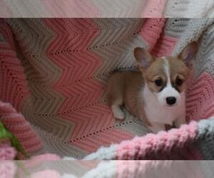 Pembroke Welsh Corgi Puppy for sale in SACRAMENTO, CA, USA