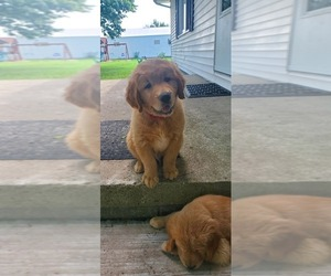 Golden Retriever Puppy for sale in MADISON, IN, USA