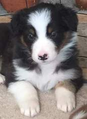 Australian Shepherd Puppy For Sale in EDGARTOWN, MA