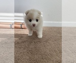 Small Photo #3 Pomeranian Puppy For Sale in SAN JOSE, CA, USA