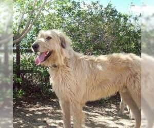 Irish Wolfhound Puppy for sale in CARSON CITY, NV, USA