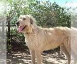 Irish Wolfhound puppies  AKC registered