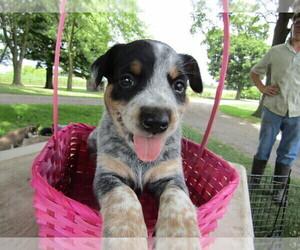 Australian Cattle Dog-Border Collie Mix Dog for Adoption in HUDSON, Michigan USA