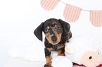 Oscar Male ACA Dapple Mini Dachshund Puppy