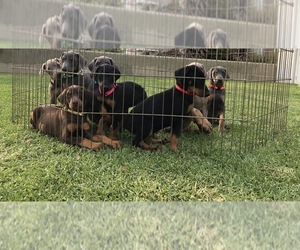 Doberman Pinscher Puppy for sale in NORCO, CA, USA
