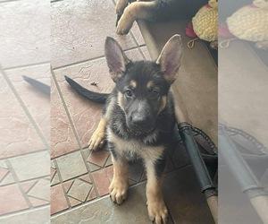 German Shepherd Dog Puppy for Sale in JACKSONVILLE, Florida USA