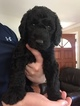 Labradoodle Puppy For Sale in WATERLOO, South Carolina,
