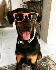 Doberman Pinscher-Unknown Mix Puppy for sale in PORT SAINT LUCIE, FL, USA