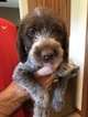 Wirehaired Pointing Griffon Puppy For Sale in KEARNEY, NE, USA
