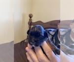 Small #4 ShihPoo