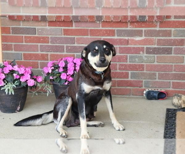 Medium Photo #1 Akita-Labrador Retriever Mix Puppy For Sale in SHILOH, OH, USA