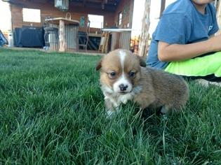 Pembroke Welsh Corgi Puppy For Sale in HOLBROOK, AZ, USA