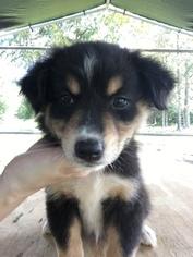 Australian Shepherd Puppy For Sale in MERIDIANVILLE, AL, USA