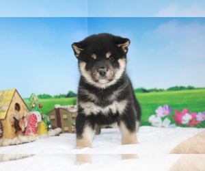 Shiba Inu Puppy for sale in EMPIRE STATE, NY, USA