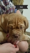 Dogue de Bordeaux Puppy For Sale in ARLINGTON, TX