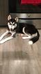 Pure breed Alaskan huskie female