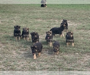 German Shepherd Dog Puppy for sale in HEDGESVILLE, WV, USA