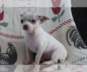 Chihuahua Puppy for sale in SHILOH, OH, USA
