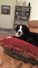 Bernese Mountain Dog Puppy for sale in OKLAHOMA CITY, OK, USA