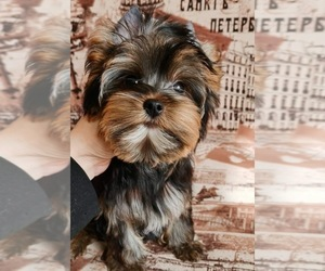 Yorkshire Terrier Puppy for Sale in CORAL SPRINGS, Florida USA