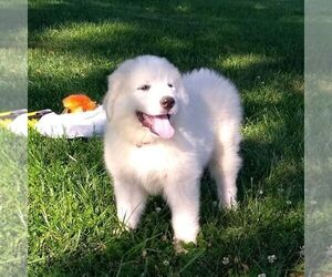 Great Pyrenees Puppy for sale in BRIGHTON, IA, USA