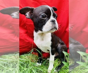 Faux Frenchbo Bulldog Puppy for Sale in WATERVLIET, New York USA
