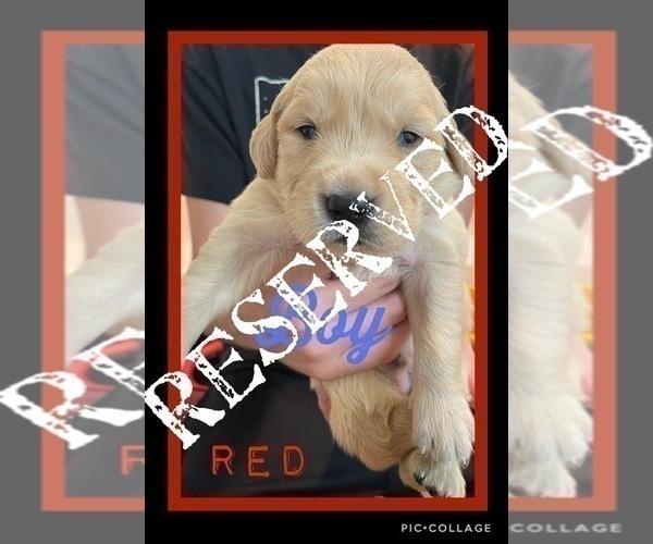 Medium Photo #7 Golden Retriever Puppy For Sale in TEMPLE, TX, USA