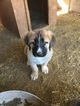 Anatolian Shepherd Puppy For Sale in SCOTTSDALE, AZ,