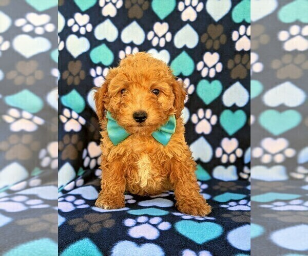 Medium Photo #1 Goldendoodle Puppy For Sale in LEOLA, PA, USA