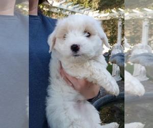 Maltipoo Puppy for sale in ROYAL OAKS, CA, USA