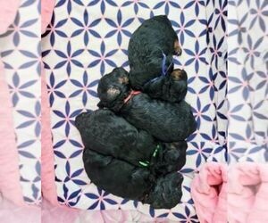 Poodle (Toy) Puppy for sale in RALEIGH, NC, USA