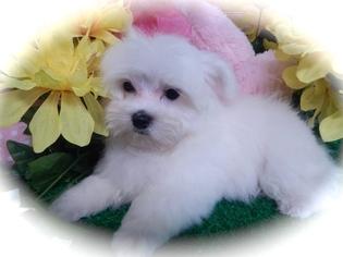 Havanese Puppy For Sale in HAMMOND, IN