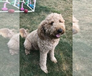 Mother of the Goldendoodle puppies born on 04/18/2021