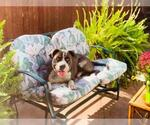 Small #18 American Staffordshire Terrier-Labrador Retriever Mix