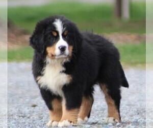 Bernese Mountain Dog Puppy for sale in WAYNESBORO, PA, USA