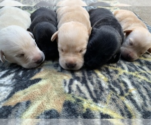 Labrador Retriever Puppy for Sale in SOUTHMONT, North Carolina USA