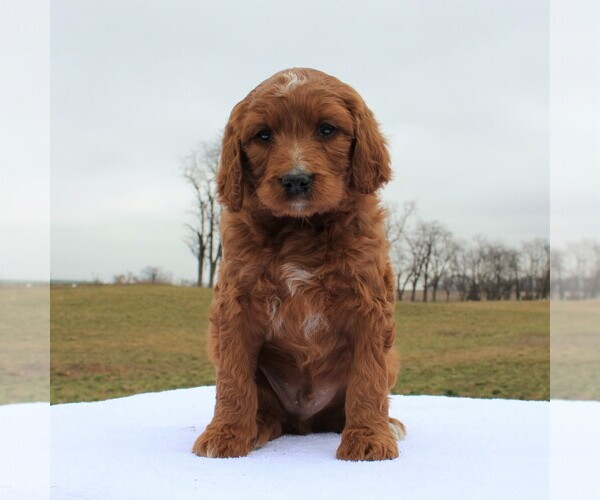 Medium Photo #3 Irish Doodle Puppy For Sale in GREENCASTLE, PA, USA