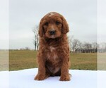 Small Photo #3 Irish Doodle Puppy For Sale in GREENCASTLE, PA, USA