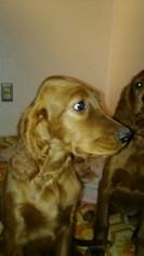 Irish Setter Puppy For Sale in SALT LAKE CITY, UT
