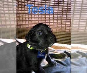 Great Pyrenees-Newfoundland Mix Puppy for Sale in Regina, Saskatchewan Canada