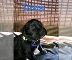 Puppy 1 Great Pyrenees-Newfoundland Mix